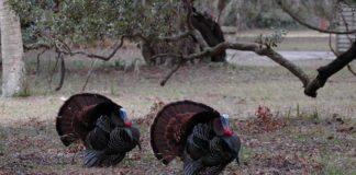 Home wild turkeys 2080364 1280 324x160