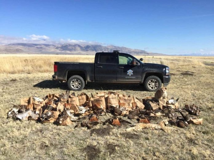 Processing evidence Wildlife officers collected over 140 carcasses of mostly raptors but other birds and mammals as well | Outdoor Newspaper