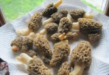 Hunting for Morel Mushrooms in spring in early May in northern Michigan Forest | Outdoor Newspaper