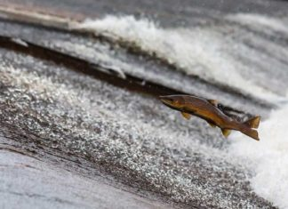 Fish Ladder Salmon Jumping Outdoor Newspaper