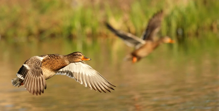 Of the species-specific population estimates for the three top breeding ducks in Wisconsin, mallards, showed the largest increase from 2017.