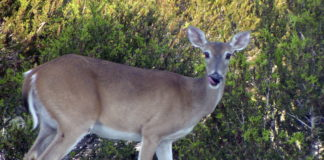 Antlerless-only Deer Hunt at Sandhill Wildlife Area