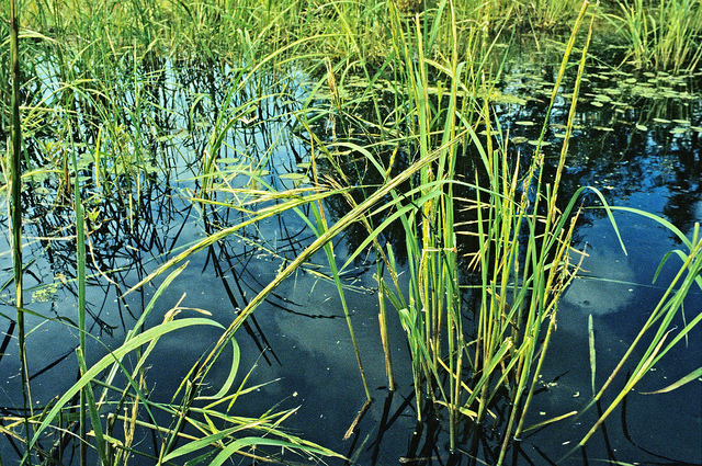 Wild rice grows on many lakes across northrern Wisconsin. - Photo credit: DNR