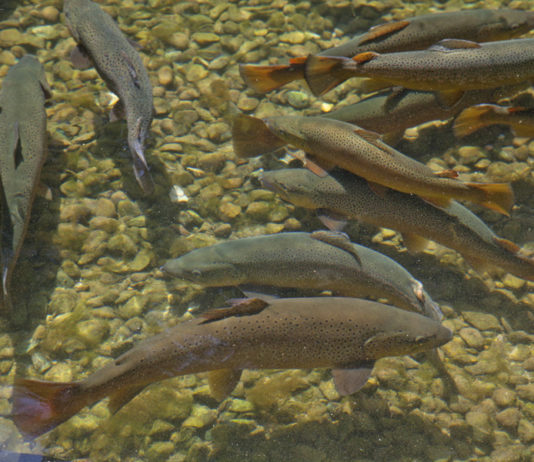 Enjoy family friendly activities, see big brown trout up close, and tour the beautiful historic grounds at the Oct. 27 Wild Rose Hatchery Fall Open house. Photo credit: DNR