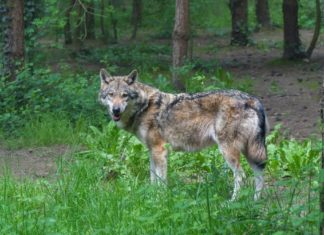 WI DNR Wolf Managment- Outdoor Newspaper