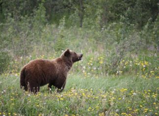 Grizzly Captured Near Bitterroot River