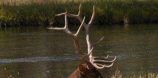 Bull Eik Killed During Gun Deer Season? Oudoor Newspaper