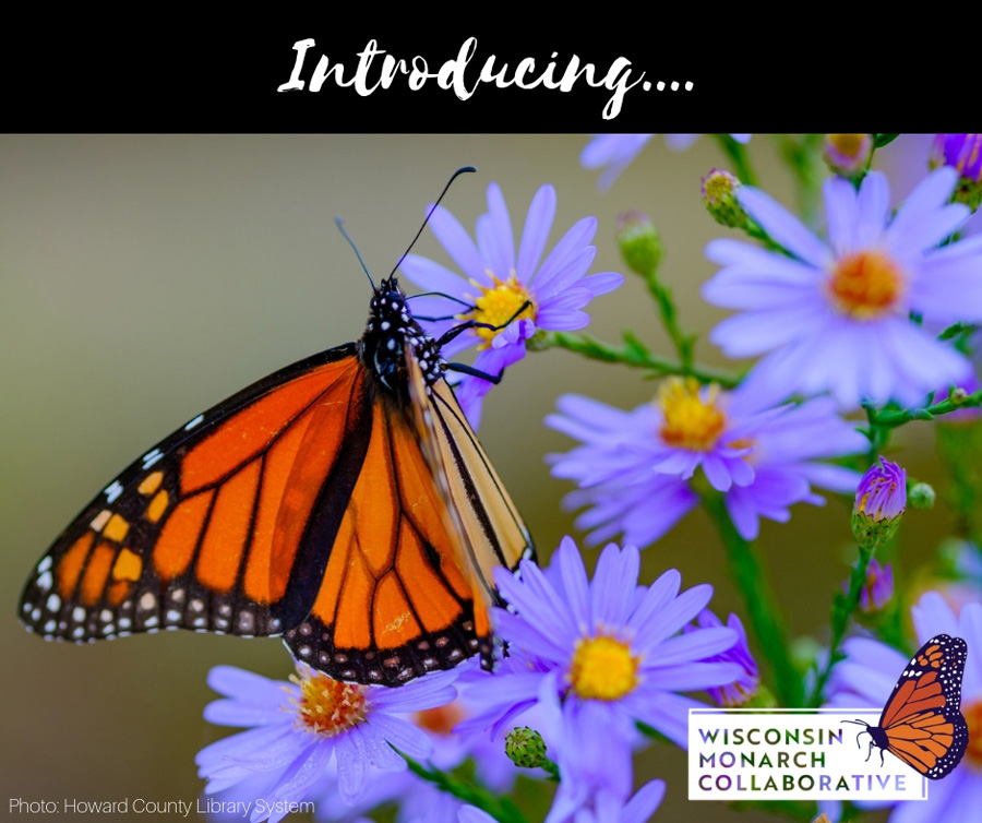 The new Wisconsin Monarch Collaborative website, wimonarchs.org, has Wisconsin-specific information on adding habitat and other ways to help monarchs. - Photo credit: DNR