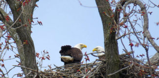 Eagles Nest Numbers are Soraing in WI- Photo Credit WI DNR ! Outdoor Newspaper
