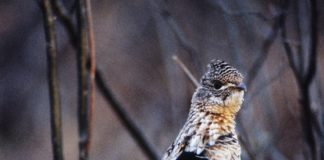 Ruffed Grouse Fround With West Nile Virus.