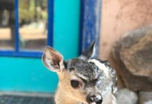 Arizona Orphaned Deer Fawn | Outdoor Newspaper