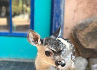 Arizona Orphaned Deer Fawn | Outdoor Newspaper