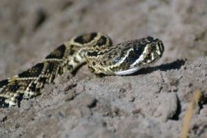 Copperhead Snakes Can be Dangerous to Bird Dogs and Hunters. - Outdoor Newspaper