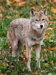 Coyotes Can be Dangerous - Outdoor Newspaper