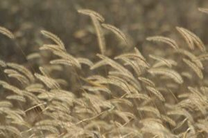 Foxtail Barley Seeds Can Cause Pneumonia If Inhaled by Your Bird Dog | Outdoor Newspaper