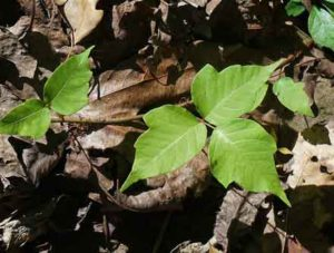 Poison Ivy Causes an Itchy Rash and Blisters | Outdoor Newspaper