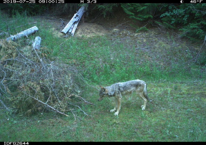 Trail Camera surveys provide new statewide wolf population estimate in Idaho State | Outdoor Newspaper