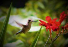 Backyard Birding - Humming bird Ready for a Flower | Outdoor Newspaper