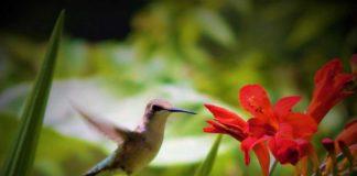 Backyard Birding - Humming bird Ready for a Flower   Outdoor Newspaper