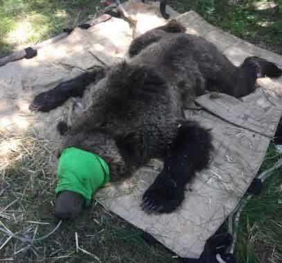 Grizzly Bear Research Trapping in Idaho