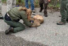 Idaho F&G Capture and Euthanize Injured Mountain Lion Near Rexburg