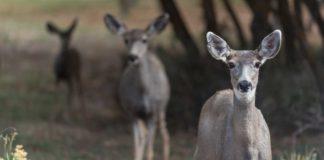 poaching of mule deer doe unborn fawns | Outdoor Newspaper