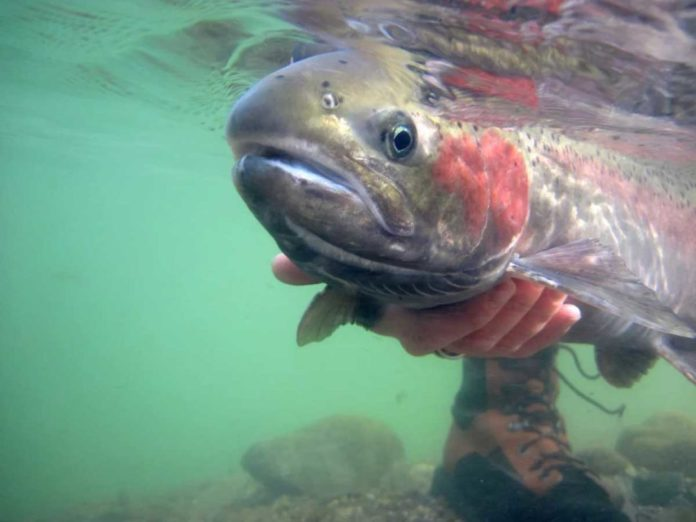 steelhead being held underwater in the Salmon drainage March 2011 - Outdoor Newspaper