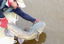Spines help catfish live another day