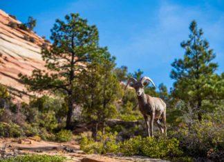 Remote water measuring sensor saves bighorn sheep | Outdoor Newspaper
