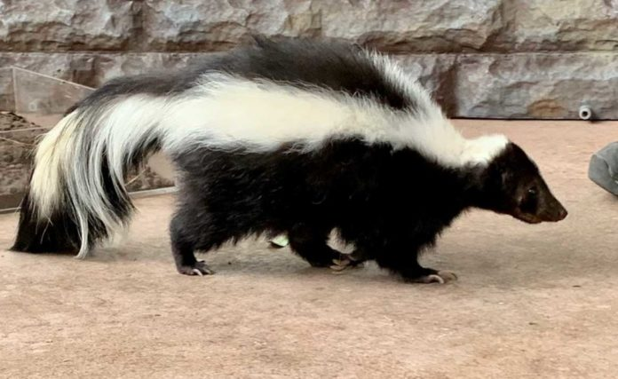 16 Cool Things You Should Know About Skunks | Outdoor Newspaper
