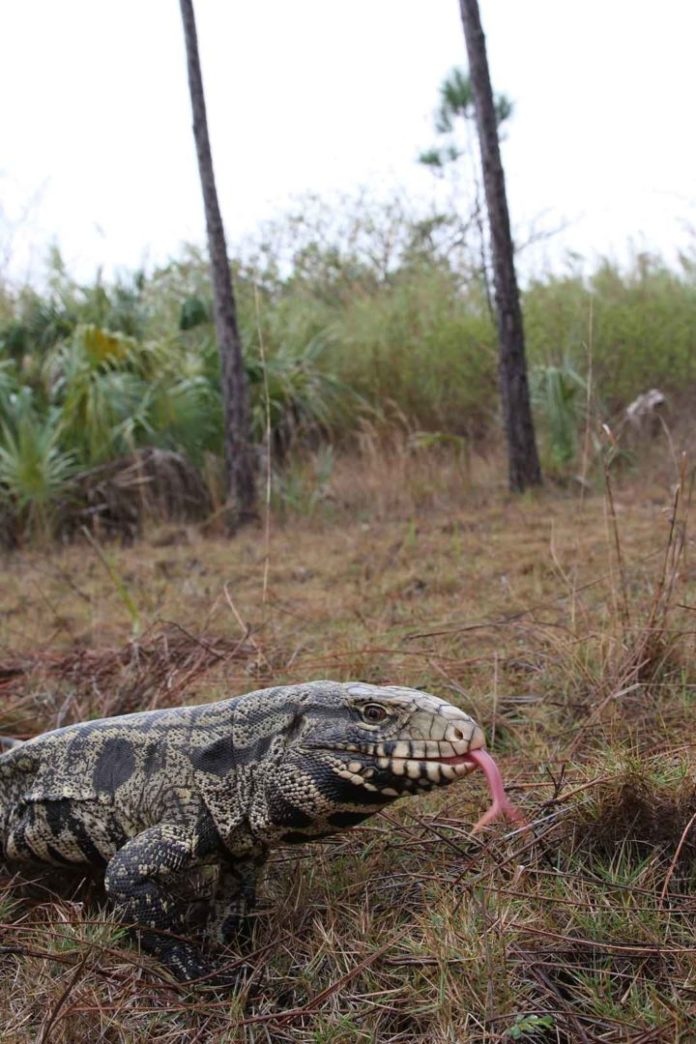 Adult black and white tegu lizard - File Photo by Dustin Smith |Outdoor Newspaper