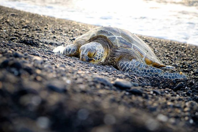 Sea turtle crawling on the rocky beach in Hawaii to lay eggs | Outdoor Newspaper
