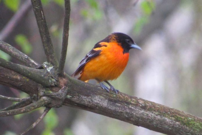 baltimore oriole fun fact unlike robins and many other fruit eating birds baltimore orioles | Outdoor Newspaper
