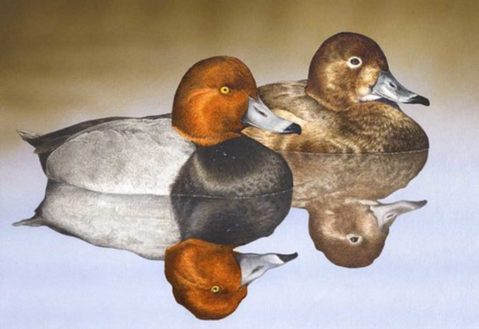 Scott Calpino's rendering of a hen and a drake redhead will adorn Maryland's 2021-2022 migratory game bird hunting stamps.