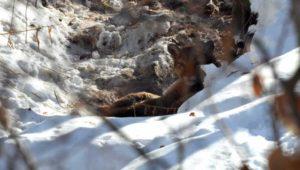 Idaho Mountain Lion - Outdoor Newspaper