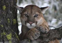 Safety Tips When Living in Proximity to Mountain Lions - Outdoor Newspaper