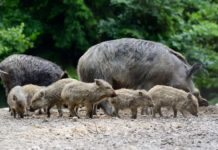 Population Reductions of Wild Boar Underway In Arkansas-Outdoor Newspaper