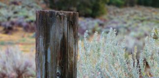 Sagebrush Seeds are Gathered For Replanting in Fire Damaged Areas of Idaho - Outdoor Newspaper