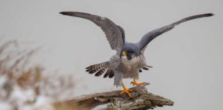 Peregrine Falcons Protected Nesting Areas - Outdoor Newspaper