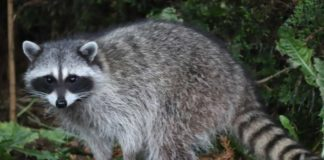 Raccoons Kill Many Song Birds by Raiding Birds Nest and Eating Eggs - Outdoor Newspaper